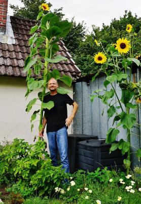 Riesen-Sonnenblume bei Jens Hundsdörfer
