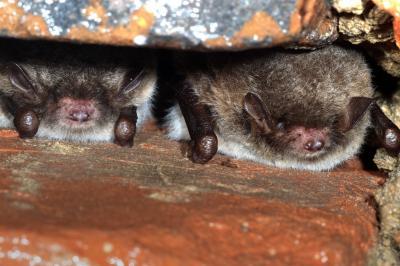 Foto zur Meldung: Die Jäger der Nacht – Fledermäuse im Plöner Schlosspark am 24. August