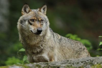 Foto zur Meldung: Der Wolf im Bildvortrag beim Naturpark