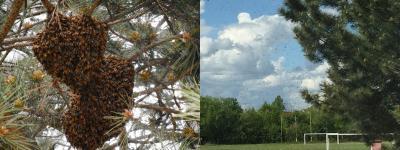 Vorschaubild zur Meldung: Bienen auf der Durchreise