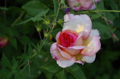 Foto zur Meldung: Rosenfreunde könnten beim Wittstocker Rosenfest dabei sein