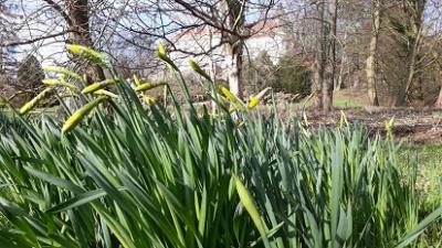 Derart im Öffnen waren die Narzissenblüten im Park am Freitag, 6. März 2020
