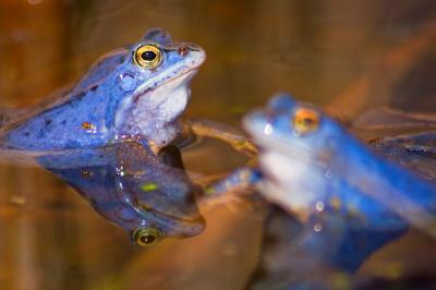 Ein seltener Anblick - blaue Frösche. Nur zur Paarungszeit sind männliche Moorfrösche blau gefärbt