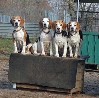 einige Mädels unserer Beagle-Meute halten Ausschau