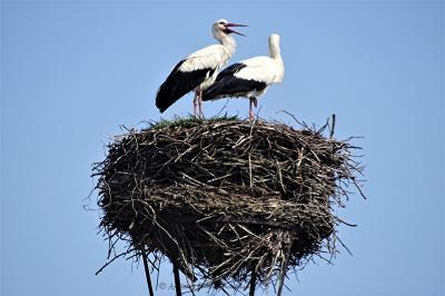 Foto zur Meldung: Das Storchenpaar ist nun komplett
