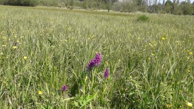 Orchideenwiese mit verschiedenen Knabenkrautarten im Naturschutzgebiet Ruhlsdorf