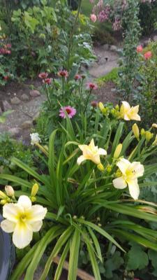 Taglilien erreichen in den nächsten Tagen ihren Blütenhöhepunkt. Fotos: Petra Schneider