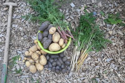 Kartoffel- und Möhrenernte