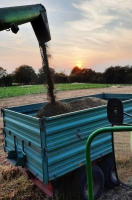Foto zur Meldung: Retro-Pflanze eingefahren – Buchweizen wieder im Kommen