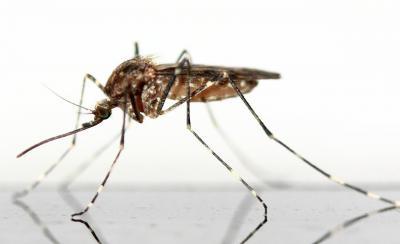 Foto zur Meldung: West-Nil-Virus erstmals bei Pferd im Landkreis TF nachgewiesen