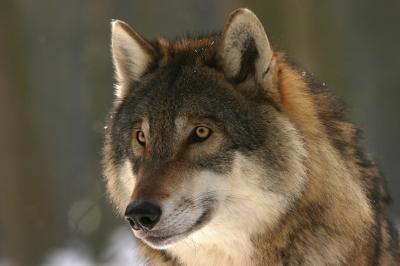 """Foto zur Meldung: Naturpark: """"Wölfe – unsere neuen Nachbarn"""", ein Bildvortrag"""