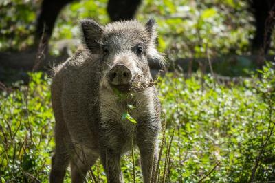 Foto zur Meldung: Runder Tisch berät über Wildschweine