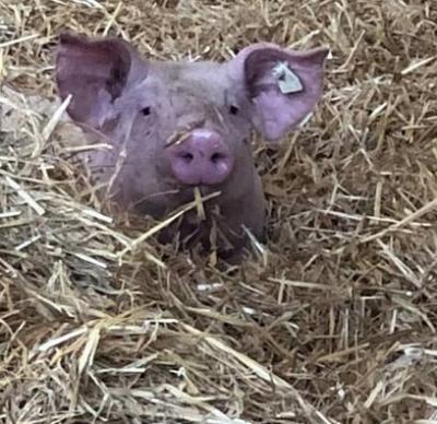 Vorschaubild zur Meldung: Kaisersberger Wohlfühlschweine