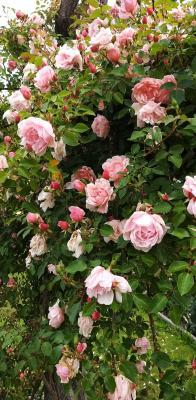 Erinnerung an einen reichen Rosensommer.