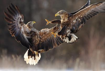 Foto zur Meldung: Das Naturpark-Tier des Jahres 2021 ist der Seeadler