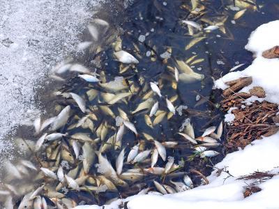 Foto zur Meldung: Fische sterben unter der Eisdecke