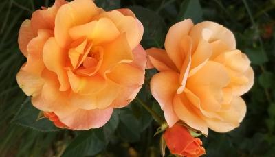 Auf dem Schulgelände entsteht ein Beet mit Rosen und Begleitpflanzen