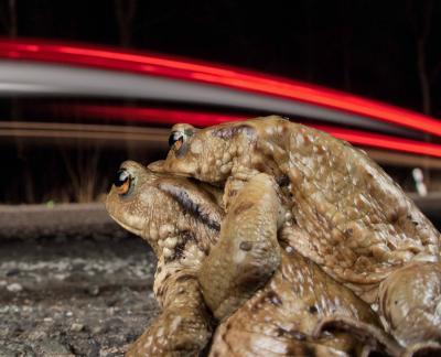 Vorschaubild der Meldung: Wanderung der Erdkröte auf Höhepunkt