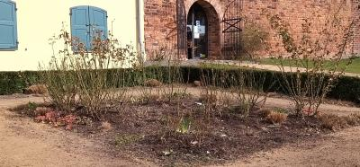 Rosen auf dem ehemaligen Laga-Gelände werden geschnitten
