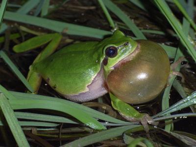Foto zur Meldung: Naturpark legt wieder los: Abendwanderung am 14. Mai zum Froschkonzert