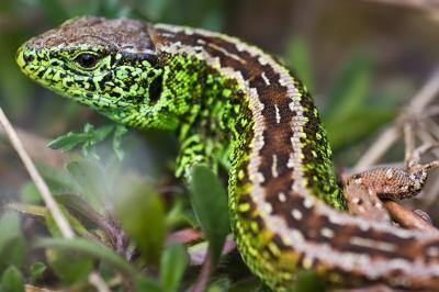 Die männlichen Zauneidechsen sind prächtig grün gefärbt. Foto: Udo Steinhäuser (Plau)
