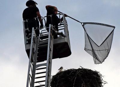 Foto zu Meldung: Ziesars Jungstorch nach Rettungsaktion eingeschläfert