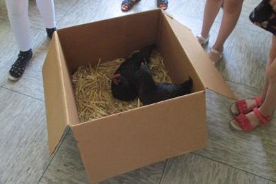 Diese beiden Hühner waren zu Gast an der Grundschule Tangstedt