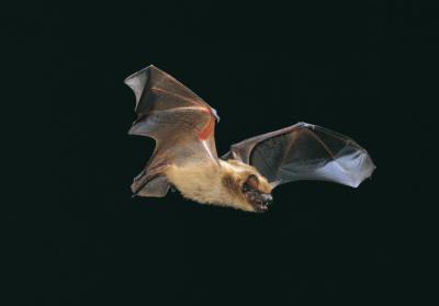 Foto zur Meldung: Naturpark lädt zur Fledermaus-Safari am 4. September in Sepel