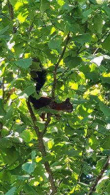 Rotes Eichhörnchen in der Haselnuss-Hecke