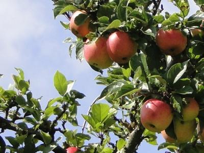 Wohin mit dem Obst? - Mosten im Herbst 2021