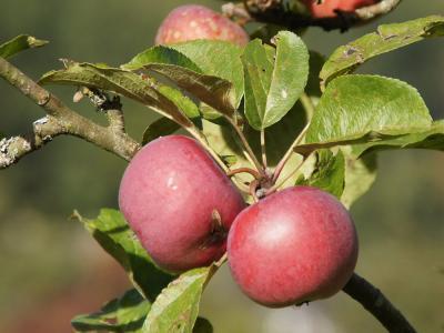 Förderung der Neupflanzung von Obstbaumhochstämmen und Wildobstarten