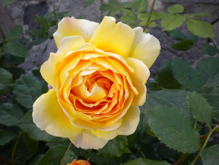 Rose 2010