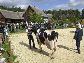 Detlef Zaunig, Mitarbeiter im Bereich Milchpoduktion und Eigenbestandsbesamer, führt im Ring