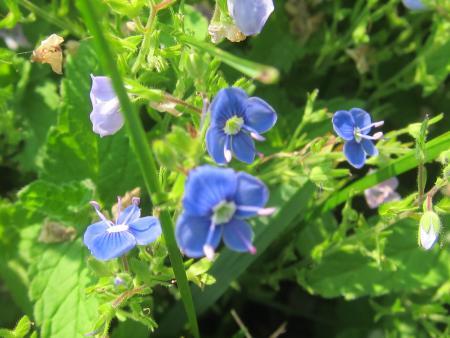 Blaue Blüten...vielleicht Rittersporn.JPG