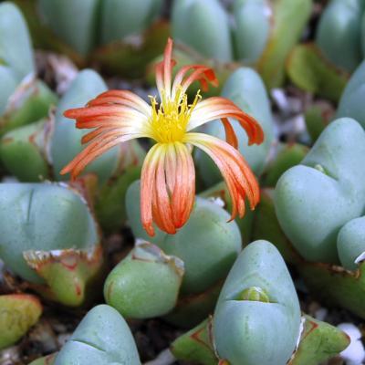 Conophytum bilobum absimile.jpg