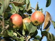 Äpfel Streuobstwiese