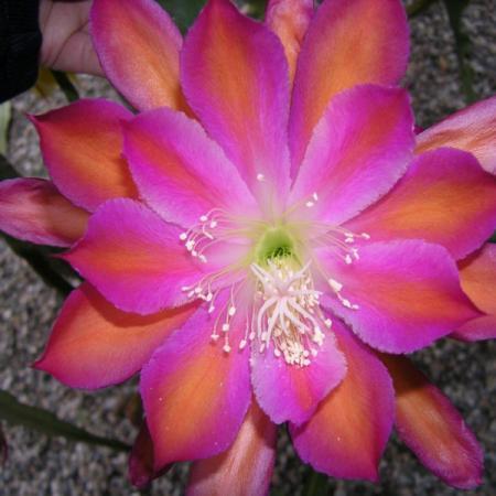 Epiphyllum_Georges_E._Stcott_Etikett.jpg
