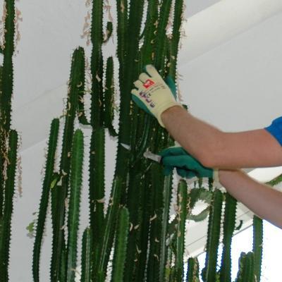 Euphorbia Rückschnitt schnittpunkt.jpg