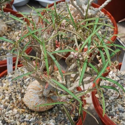 Euphorbia waringae.jpg