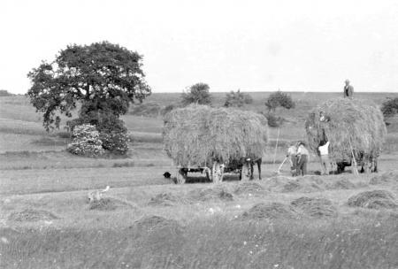 Bei der Heuernte um 1956