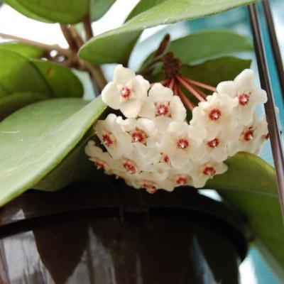 Hoya fungii.jpg