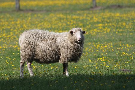 Schaf im Moor