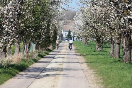 Kirschallee im Frühling