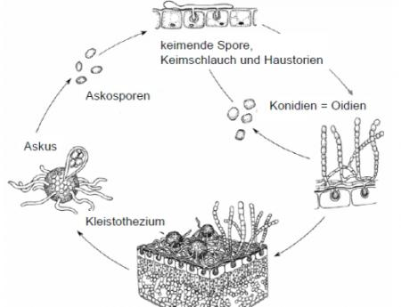 Lebenszyklus Mehltau.jpg