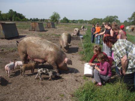 Ökoschweine hautnah