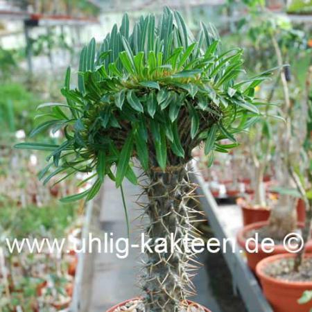 pachypodium gepfropft