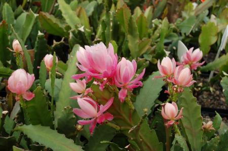 Epiphyllum Hybr