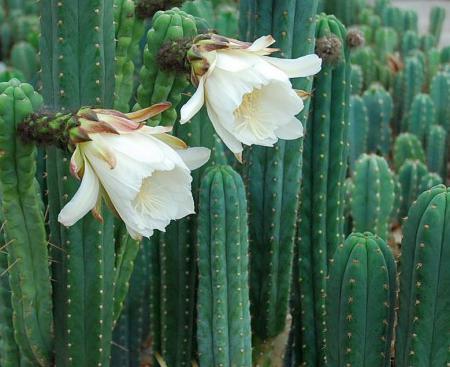 San pedro kaktus kaufen
