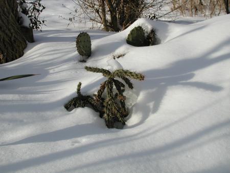 Winterharte_Opuntia Im Schnee_P1010004.jpg