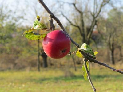 Apfel-Streuobst